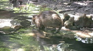 Stock Video Footage of Nutria mom and baby scratching HD