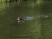 Stock Video Footage of Swimming dog