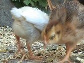 Stock Video Footage of Baby chickens