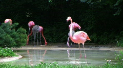 Flamingo Spinning Backwards Stock Footage