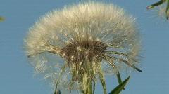 Dandelion (Sowthistle) 2 Stock Footage
