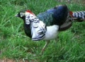 Lady Amherst's Pheasant Footage