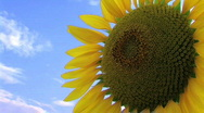 Stock Video Footage of Sunflower Against Sky