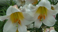 White King Lily (Lilium Regale) blooming 1 Stock Footage