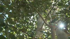 Stock Video Footage of Aspen tree - pan 2