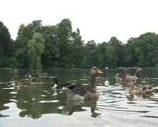 Ducks and Gooses Stock Footage