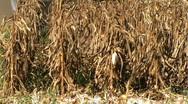 Combine Harvesting Corn Stock Footage