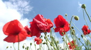 Stock Video Footage of Poppies against cloudy sky