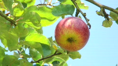 Stock Video Footage of Red apple on tree