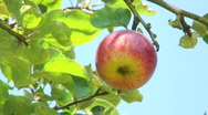 Red apple on tree Stock Footage