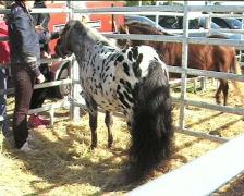 Roan pony  Stock Footage