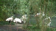 Stock Video Footage of Flamingos at a Zoo