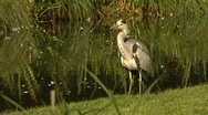 Grey heron at a lakeside Stock Footage