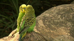 Two budgerigar (Melopsittacus undulatus) on a log Stock Footage