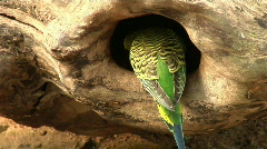 Budgerigar (Melopsittacus undulatus) on a log Stock Footage