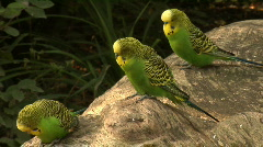 Three Budgerigar (Melopsittacus undulatus) on a log Stock Footage