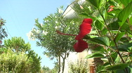 Stock Video Footage of Hibiscus rosa
