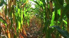 Corn Row Zoom Stock Footage