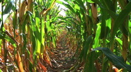 Stock Video Footage of Corn Row Zoom