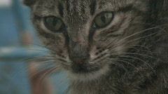 Feral cat close up. HD 1080i - stock footage