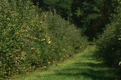 Apple orchard - stock footage