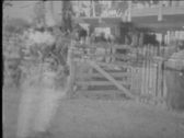 Man rides steer at rodeo-From 1930's film Stock Footage