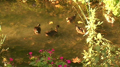 Mallard ducks at sunrise. HD 1080i - stock footage