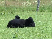 Stock Video Footage of Two black lambs