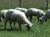 Stock Video Footage of White sheep grazing
