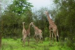 Giraffe family mom and 4 kids Stock Footage