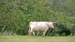 Longhorn cow ranch walking Pan follow HD Stock Footage