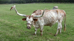 Texas Longhorn cow Ranch close HD Stock Footage