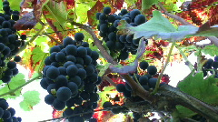 Purple Grapes on the Vine Stock Footage