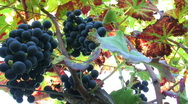 Stock Video Footage of Purple Grapes on the Vine