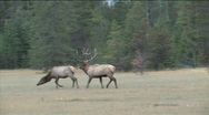 Stock Video Footage of Rutting season for Bull Elk