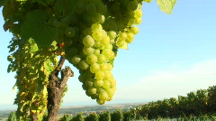 Sunny cluster of green grapes on vine Stock Footage