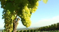 Stock Video Footage of Sunny cluster of green grapes on vine