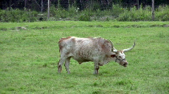 Cattle longhorn Texas eating grass Zoom Out HD Stock Footage