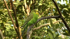 Two budgerigar (Melopsittacus undulatus) in a tree Stock Footage