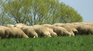 Flock of sheep on a meadow Stock Footage