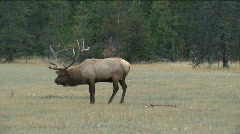 Elk in rutting season Stock Footage