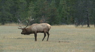 Stock Video Footage of Elk in rutting season