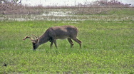 Deer whitetail buck and doe by lake HD Stock Footage
