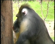 Monkey baboon yawning side profile Stock Footage