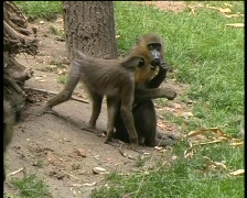 Monkeys fighting about food, PAL Stock Footage