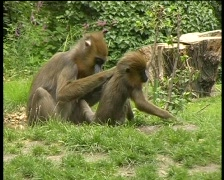 Monkey receiving an 'parasite physical' from his monkey mom, PAL Stock Footage