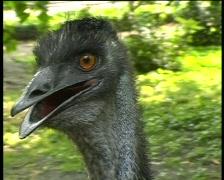 emu bird eye contact close-up - stock footage