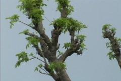 Pan across baobab tree Stock Footage