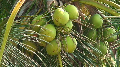Coconut Trees Cocos nucifera  in the Philippines Stock Footage