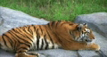 Siberian Tiger Alerted by Prey HD Footage